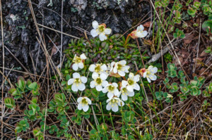 Diapensia in bloom