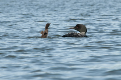 Two loons: An adult and a chick