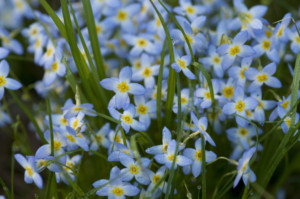 Closeup of blue flowers
