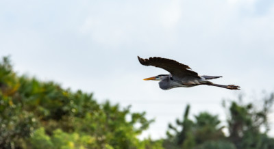 A Great Blue Heron flying