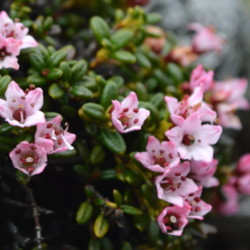 Alpine azalea in bloom