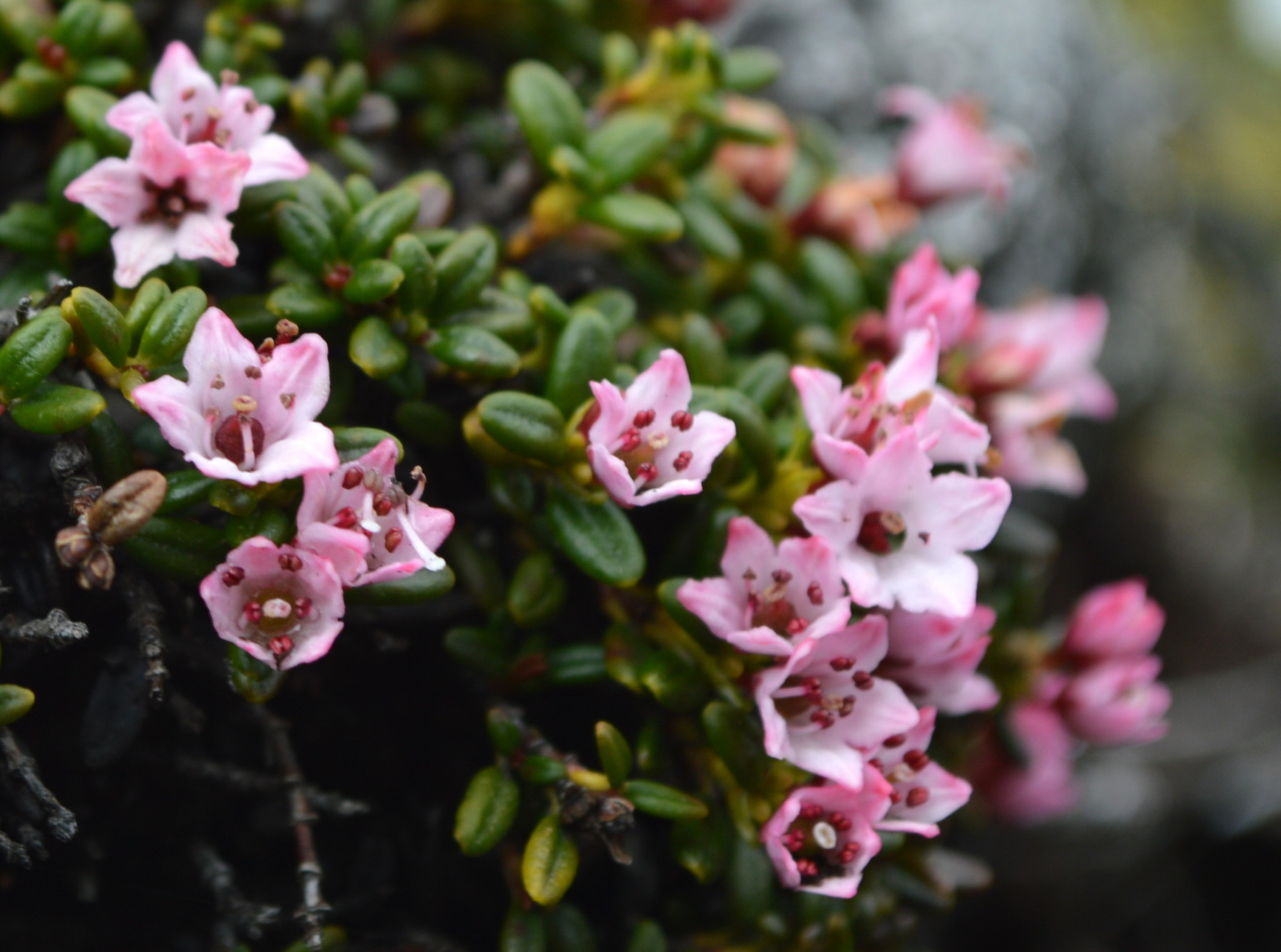 Alpine azalea in bloom