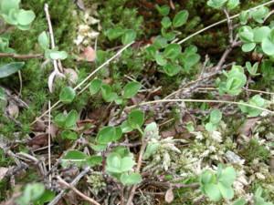 dwarf willow