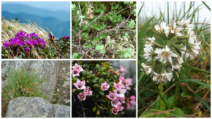 A photo collage of five alpine plants