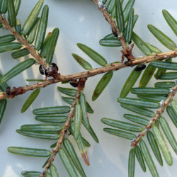 Little Larry beetles feeding on hemlock woolly adelgid