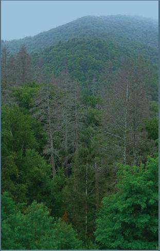 Forest damage from HWA by Jason Van Dreische