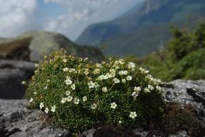 A bundle of alpine flowers on a rock surface