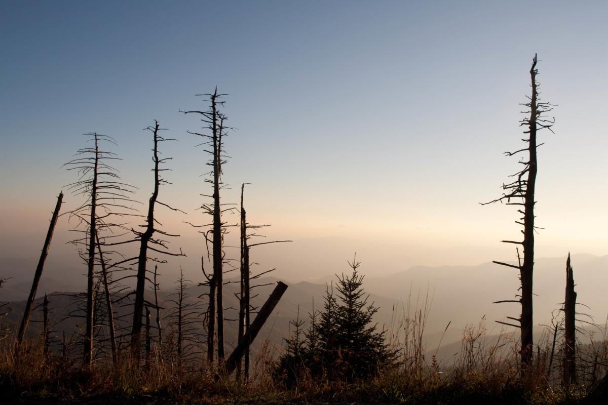 Dead Hemlock Trees in Silhouette