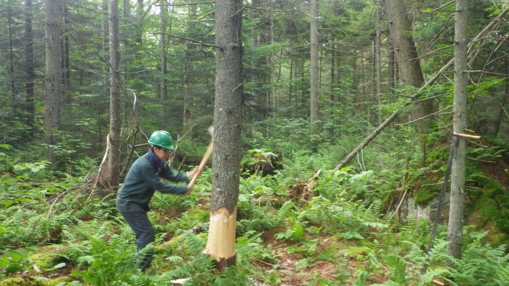 Cutting down a tree that was approved by the NYS DEC for the trail project.