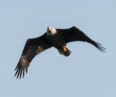 Bald eagle soaring in sky