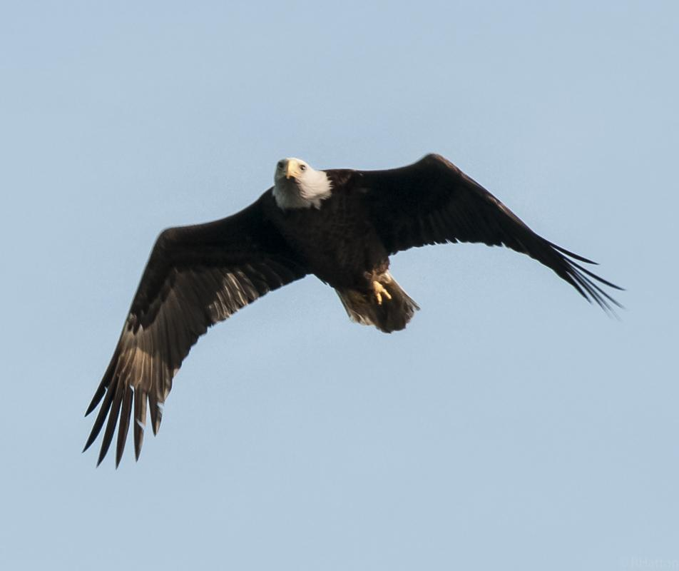 Bald eagle soaring in sky