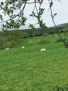 Sheep rest in a field in Ireland