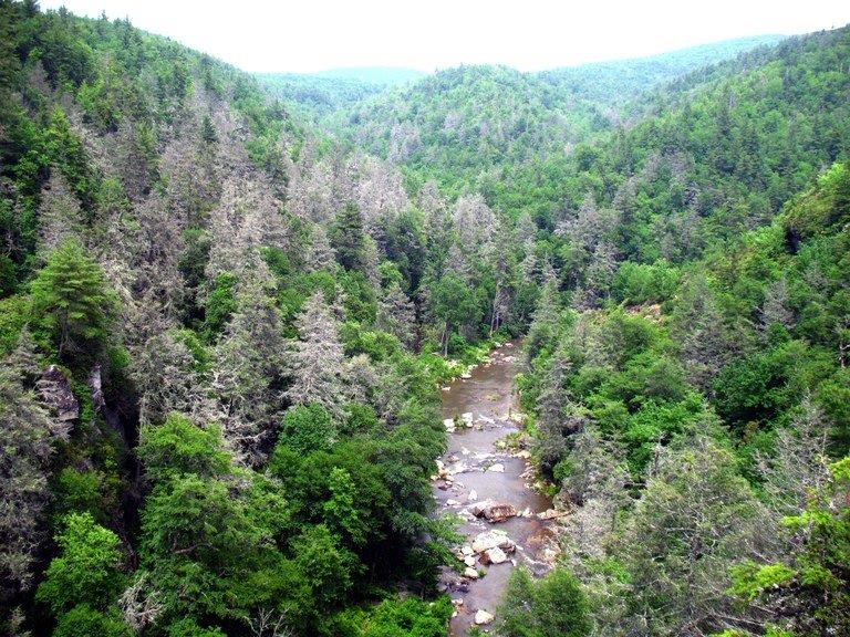 North Carolina hemlocks killed by woolly adelgid