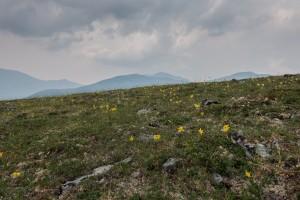 Landscape view of alpine vegetation in Alaska
