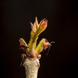 Ticks climbing on a small flower bud