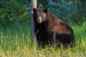 An adult black bear leaning against a tree