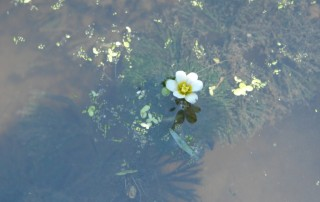 A white flower in water