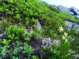 A meadow of alpine vegetation
